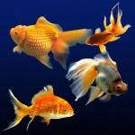 Psd исходник Золотые рыбки