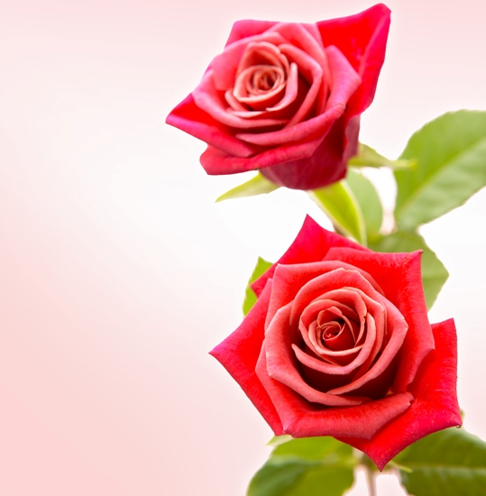 Psd исходник Розы