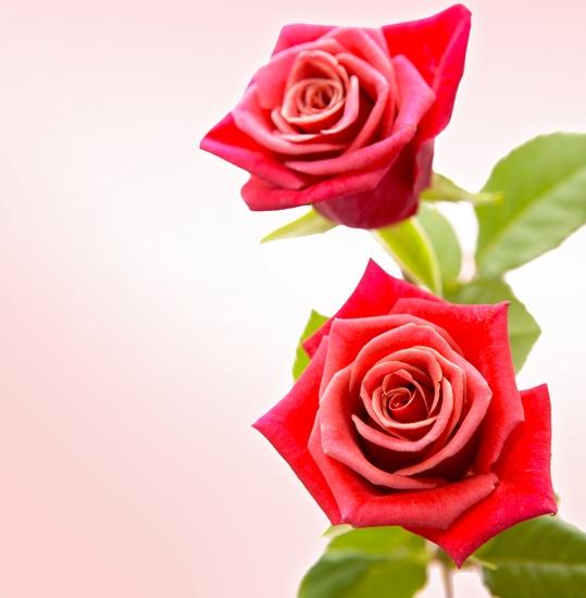 фото,роза,psd формат,psd исходник,цветы